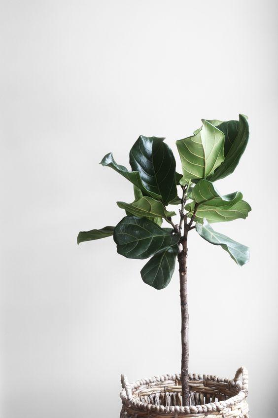 Vioolbladplant: Wat & Hoe