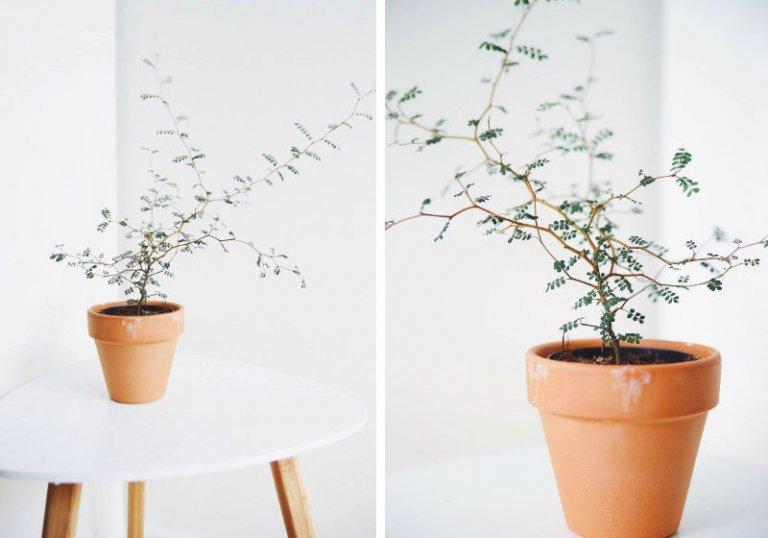 Sophora prostrata: Wat & Hoe