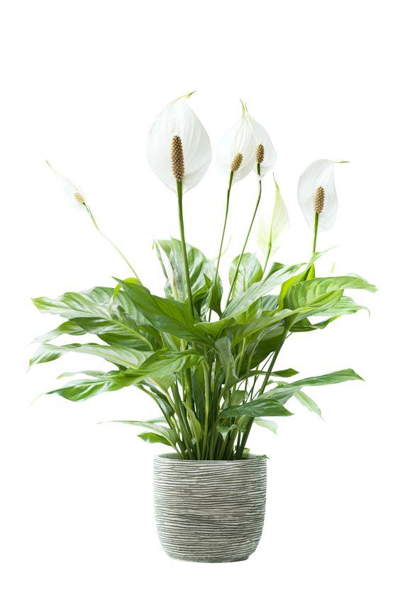 Lepelplant: Wat & Hoe