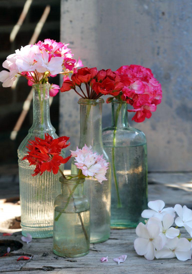Herontdekt: Pelargonium (Geranium)