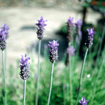 lavendel royal crown