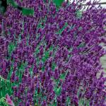 lavendelsoorten hidcote