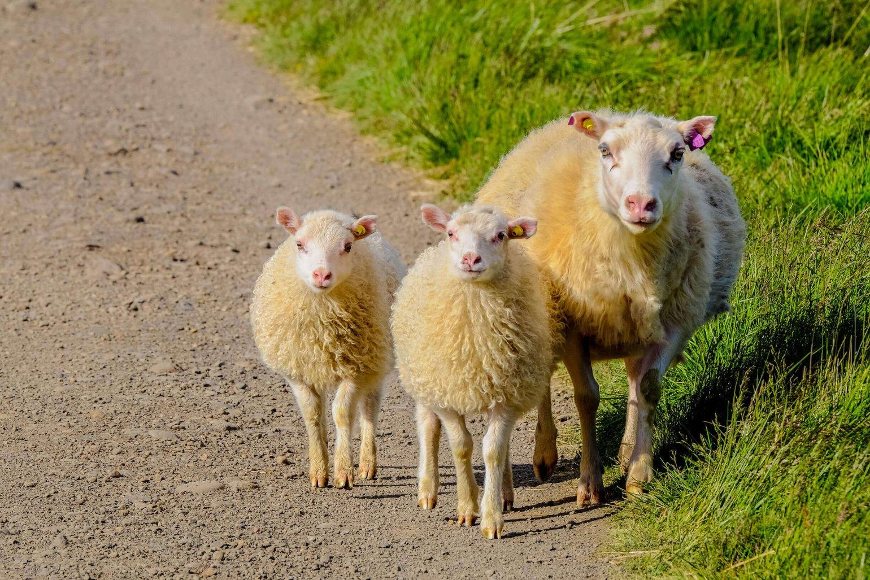 Vegan schapen
