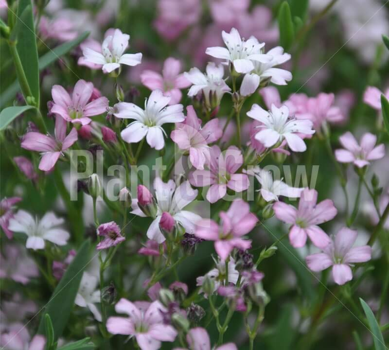Gypsophila repens 'Rosea' - plantengrow