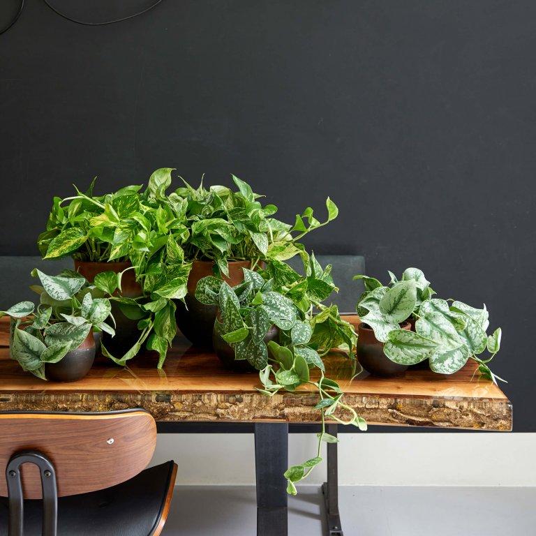 Scindapsus: woonplant van de maand augustus