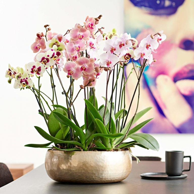 Vlinderorchidee: woonplant van de maand september