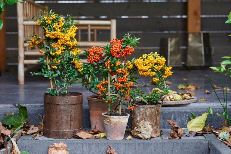 Vuurdoorn: Tuinplant van de maand oktober