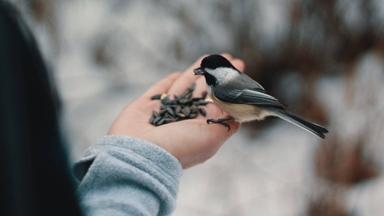 Vogels bijvoeren