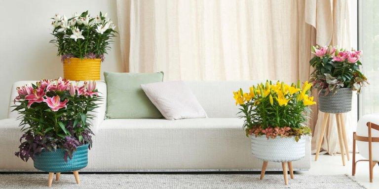 Potlelie: Woonplant van de maand maart