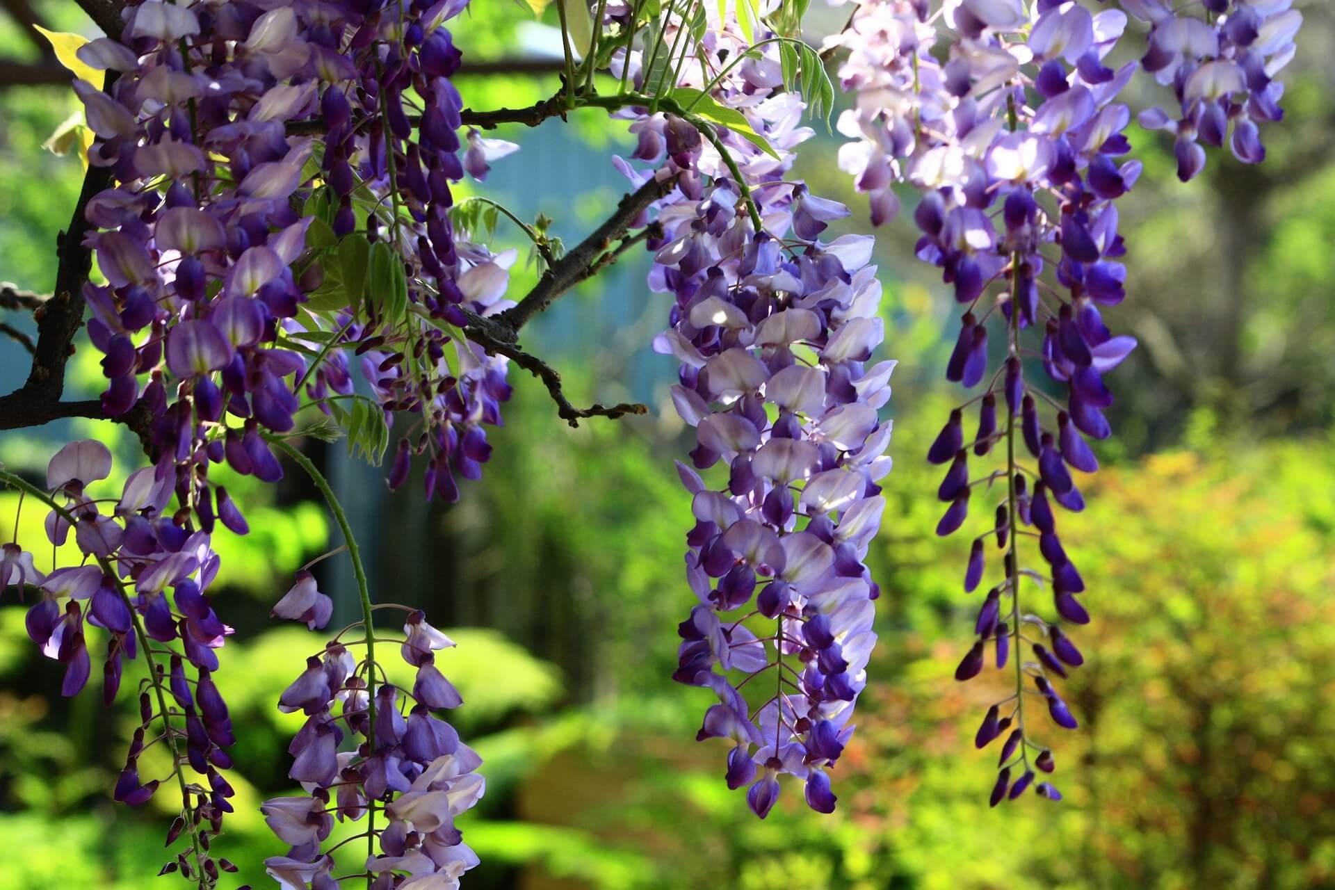 klimplant wisteria